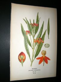 Step 1897 Antique Botanical Print. Redhead